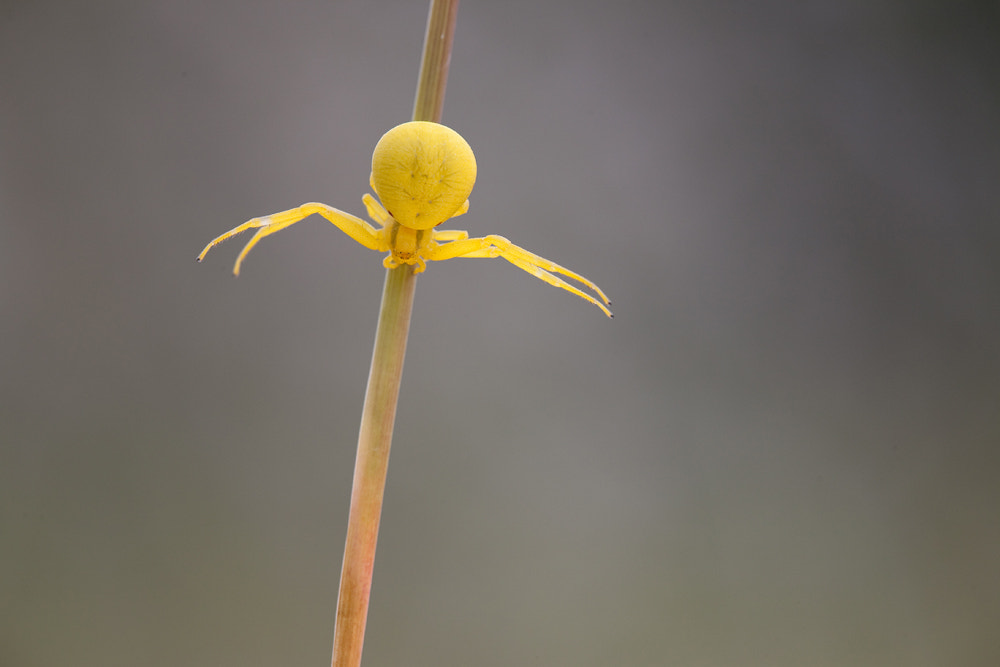 Photograph Crab Spider by Alistair Campbell on 500px