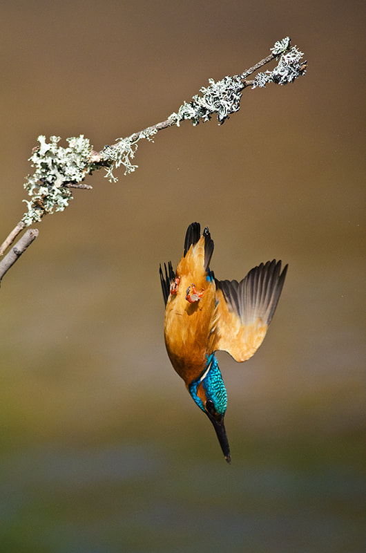 Photograph Kingfisher diving by Chris Pippard on 500px