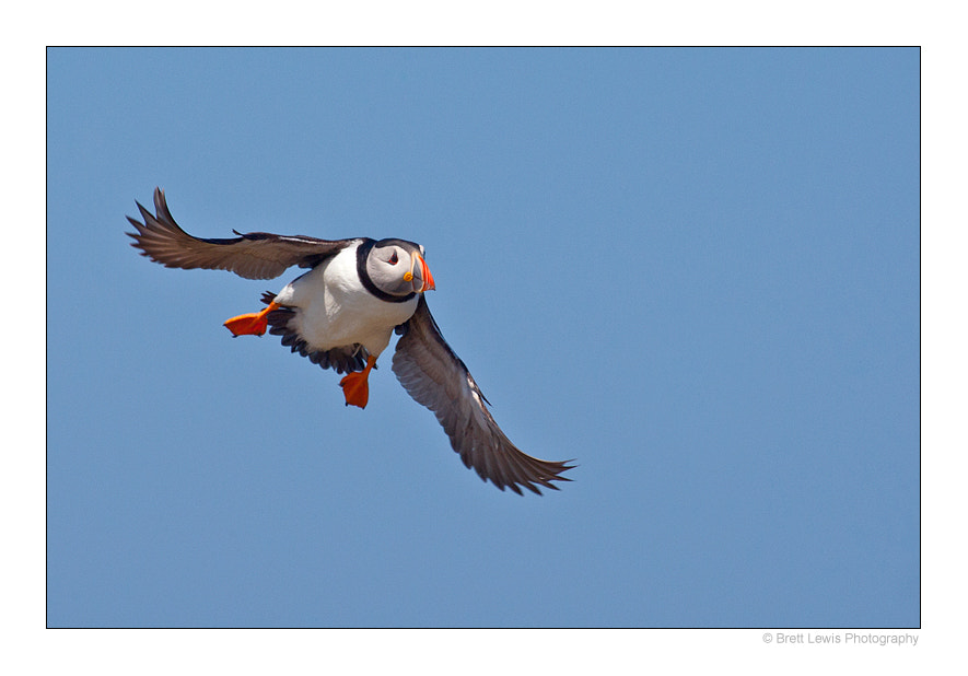 Photograph Puffin.. by Brett Lewis on 500px