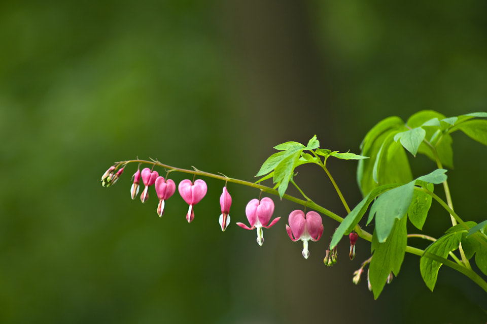 Photograph Bleeding Hearts by Stephanie Wallace on 500px