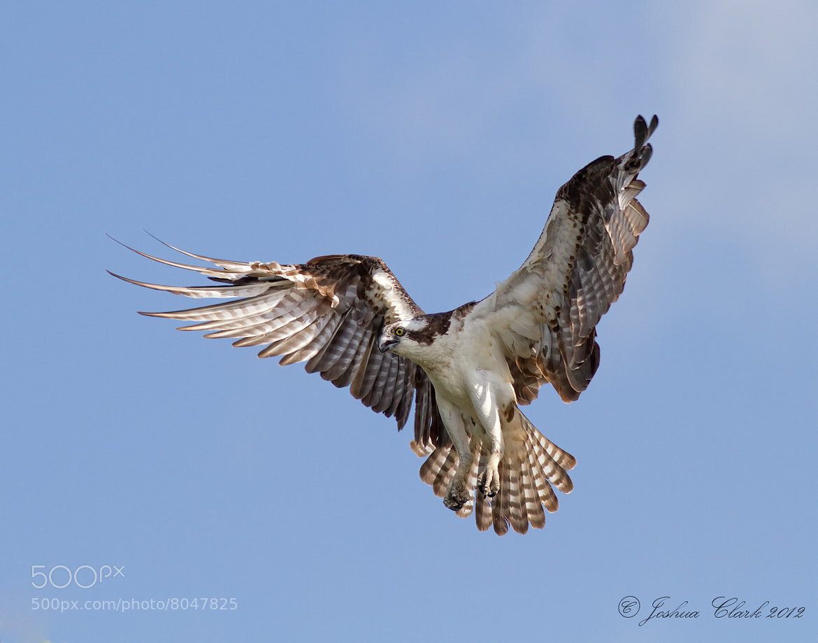 Photograph Osprey Angel Wings by Joshua Clark on 500px