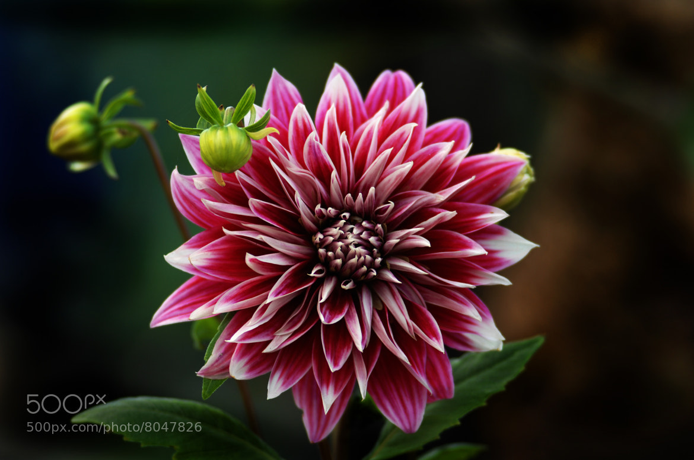 Photograph Dahlia bi-tone by Cristobal Garciaferro Rubio on 500px