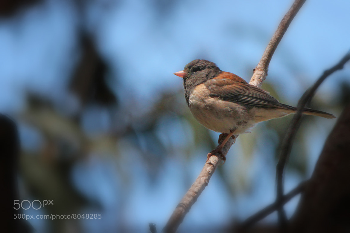 Photograph Perching Junco by Todd Livermore on 500px