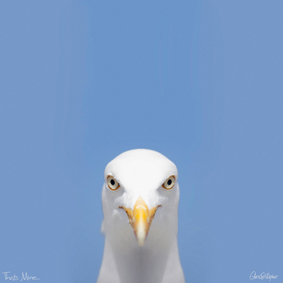 Photograph Greedy Gull by G Christopher on 500px
