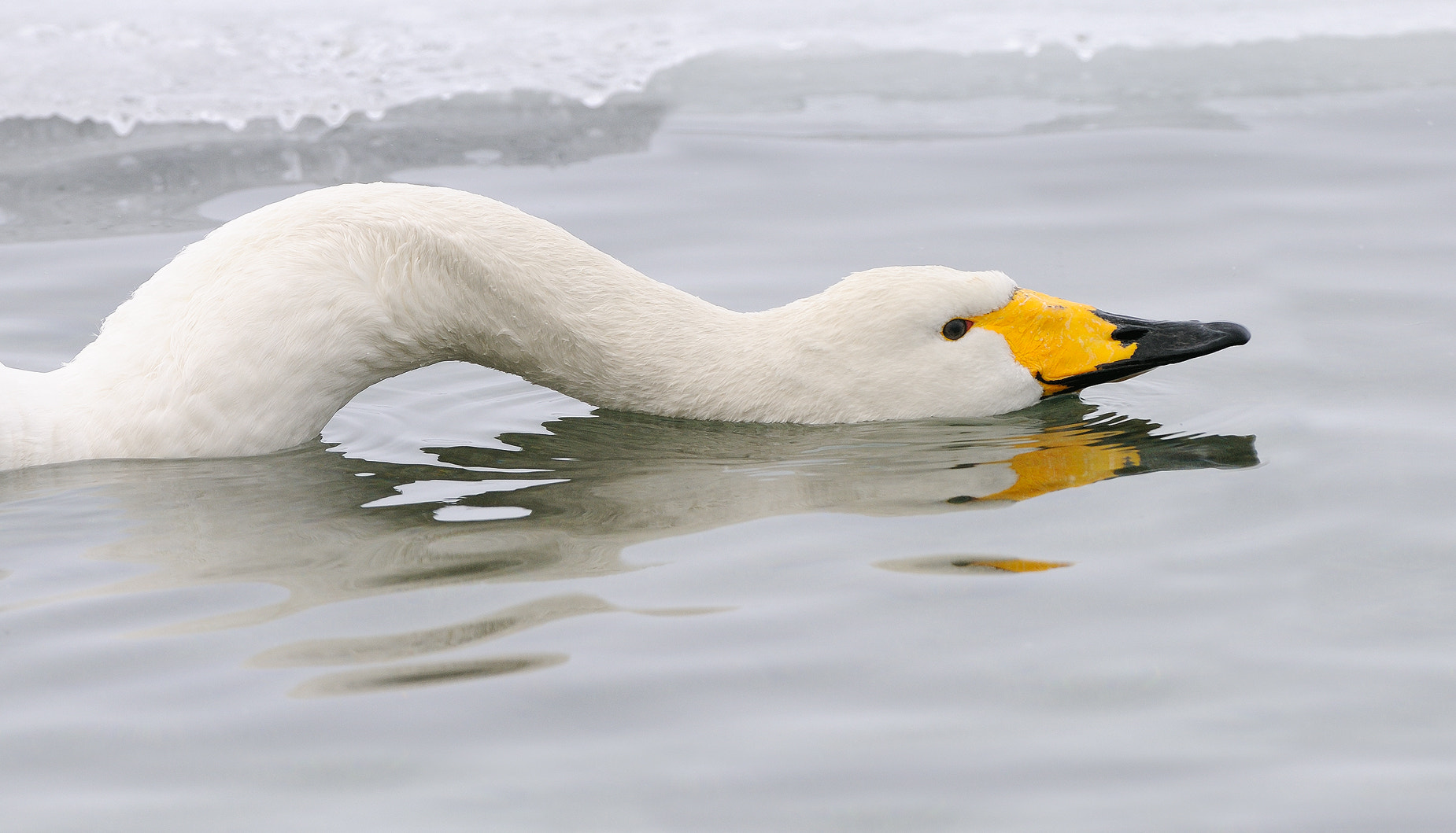 Photograph Snaky Swan by Harry  Eggens on 500px