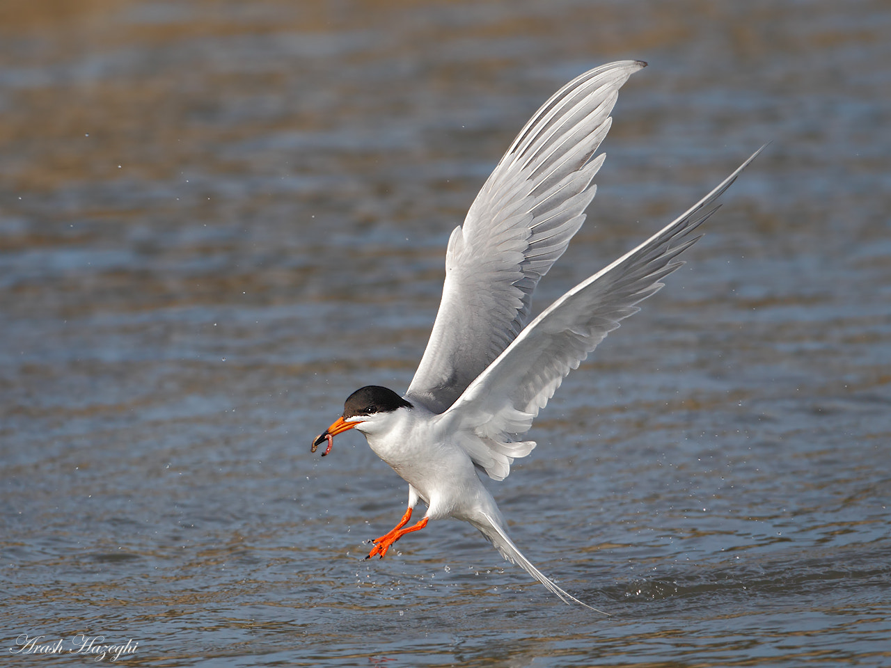 Photograph Forster's Tern by Ari Hazeghi on 500px