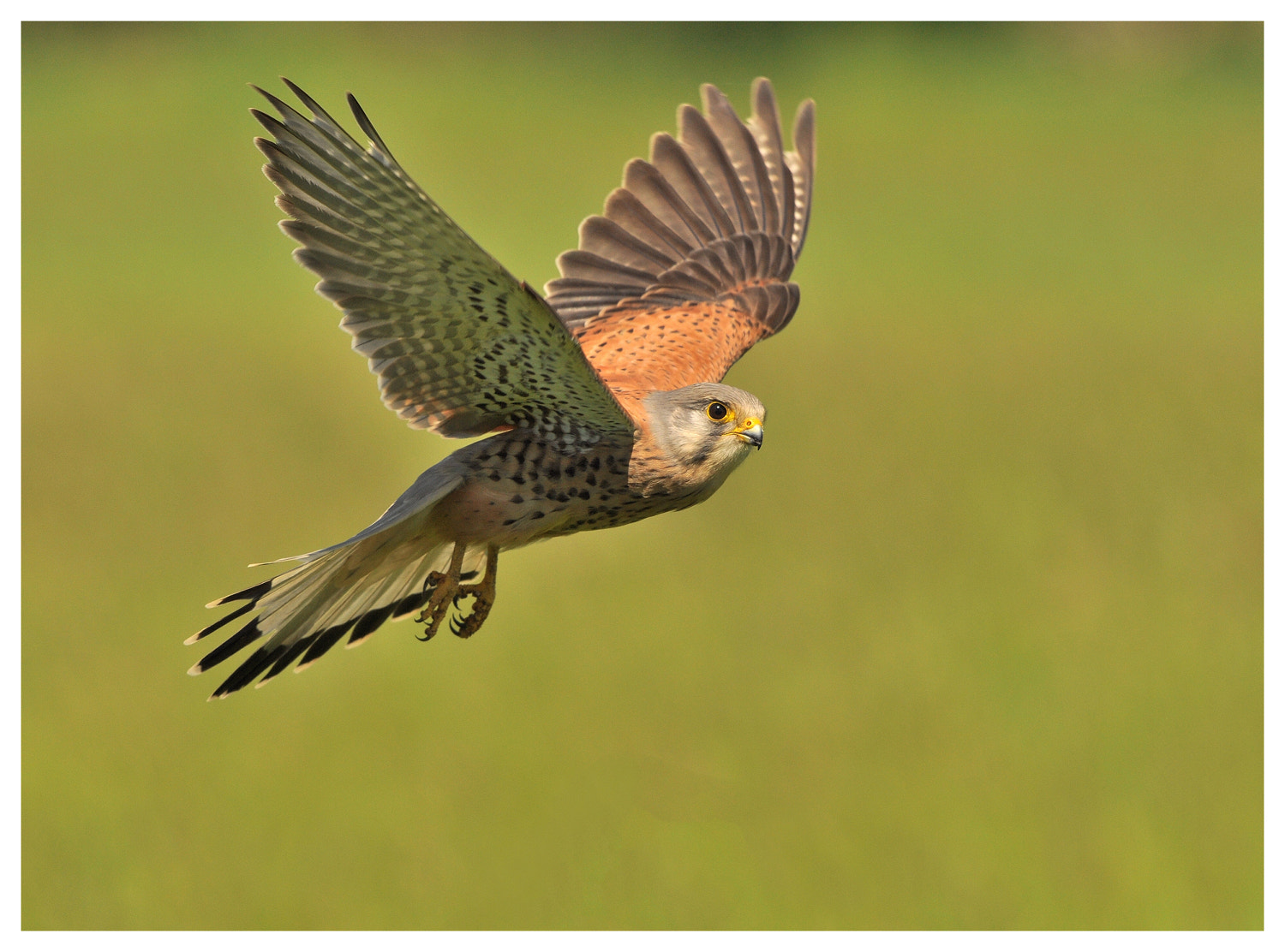 Photograph Kestrel  by Keith Bannister on 500px