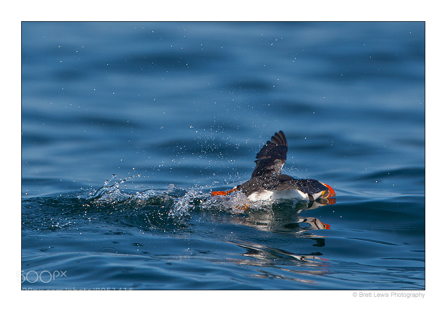 Photograph Puffin's 100m Freestyle..!  by Brett Lewis on 500px