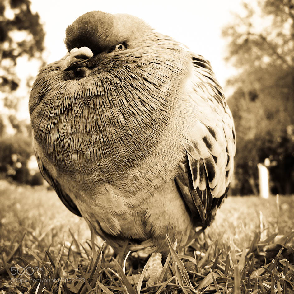 Photograph Park Pigeon by kalyna on 500px