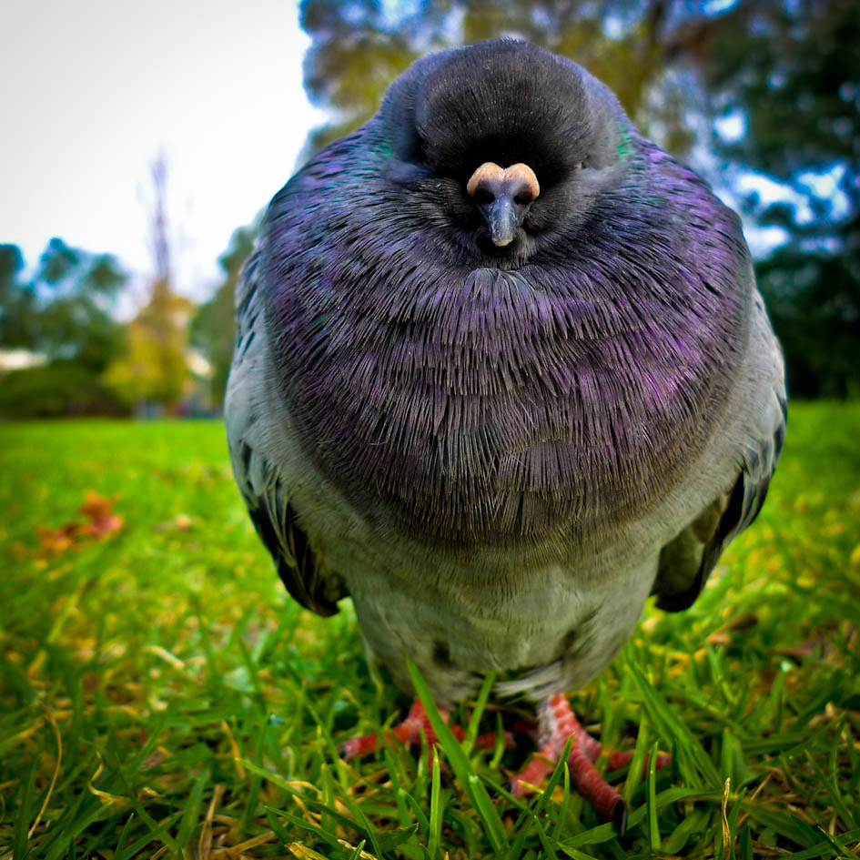 Photograph Park Pigeon Techicolour by kalyna on 500px