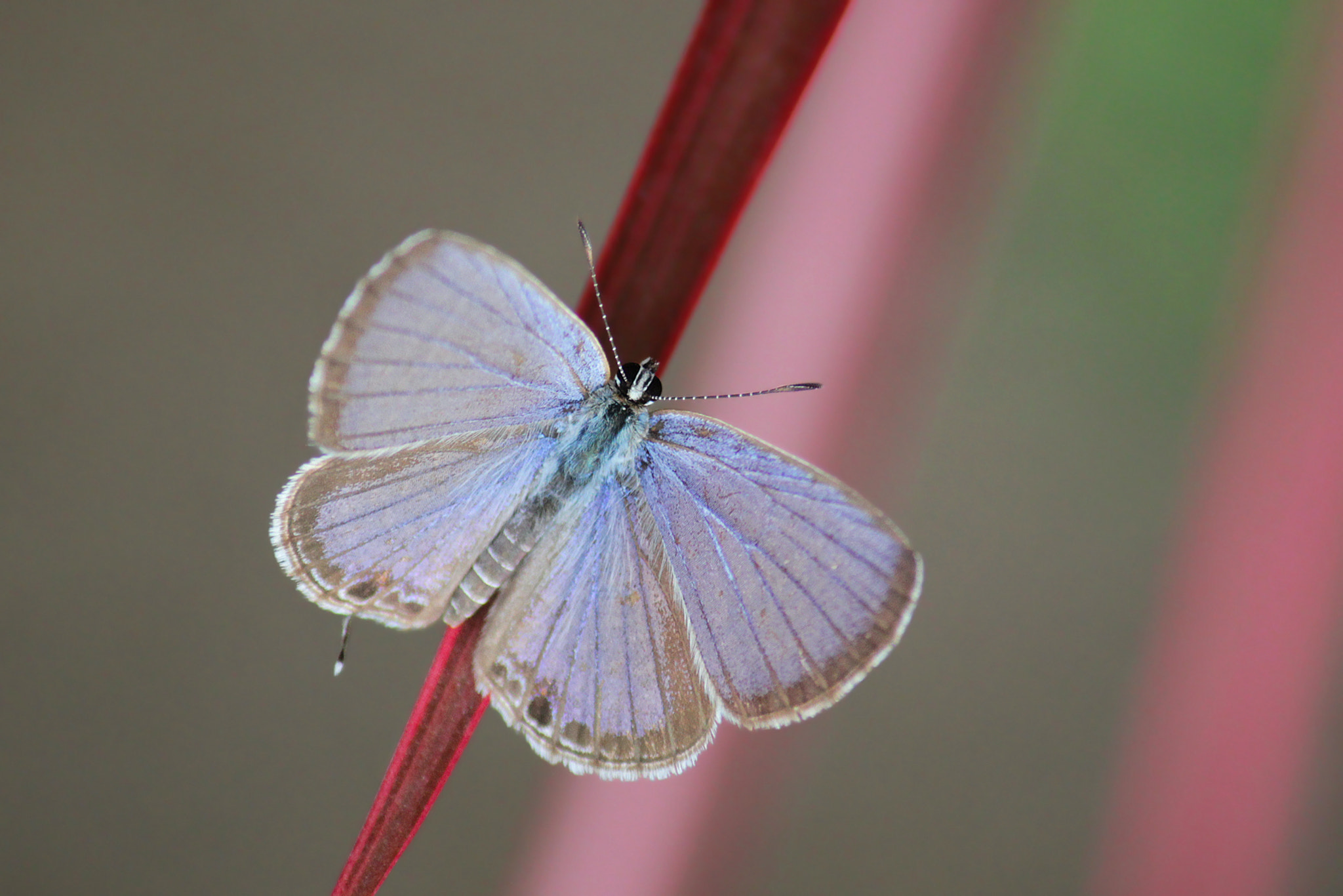 Photograph Eastern tailed Blue Butterfly by Subhash Masih on 500px