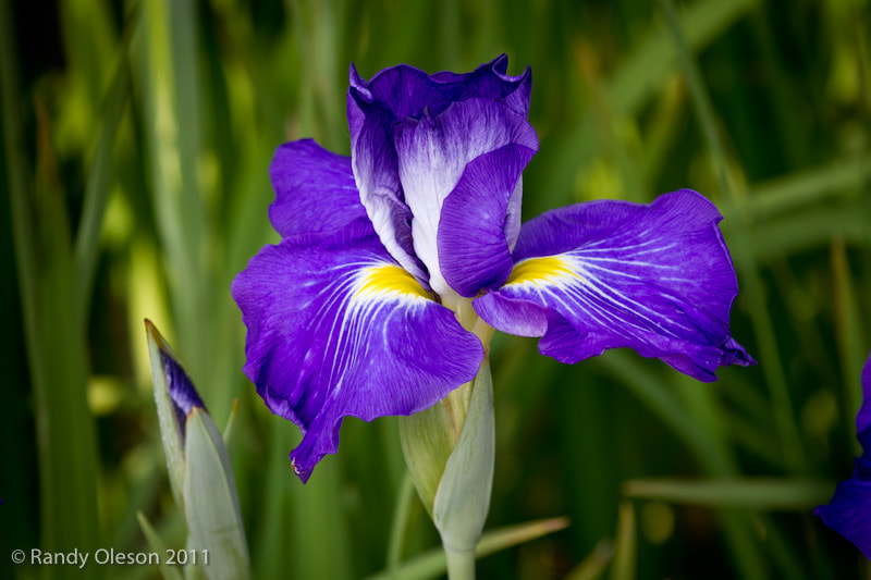 Photograph Purple Iris by Randy Oleson on 500px