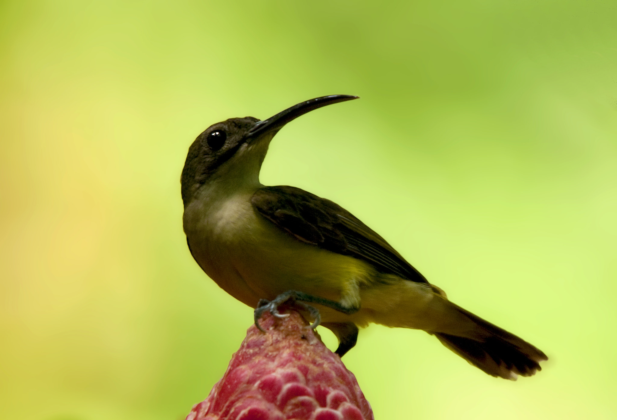 Photograph Long-bill Spiderhunter by Allan Seah on 500px