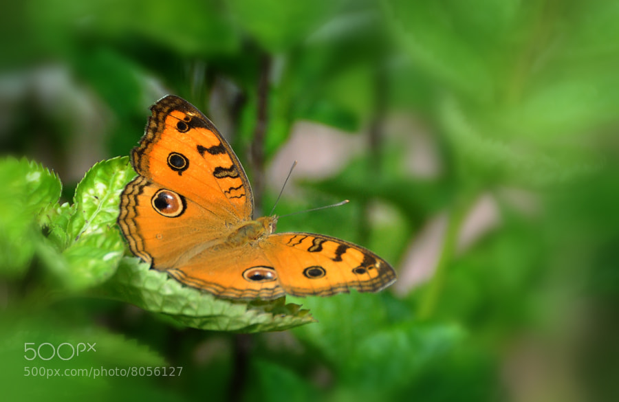Photograph Butterfly 5 by Khoo Boo Chuan on 500px