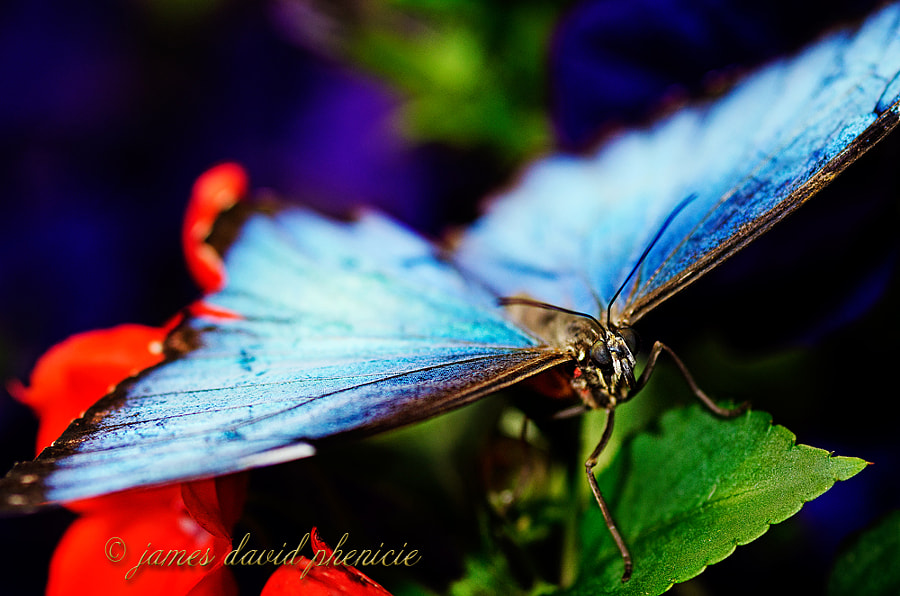 Butterfly Series:  Common Blue Morpho#1