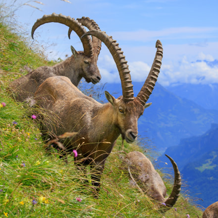 Alpine Ibex Switzerland