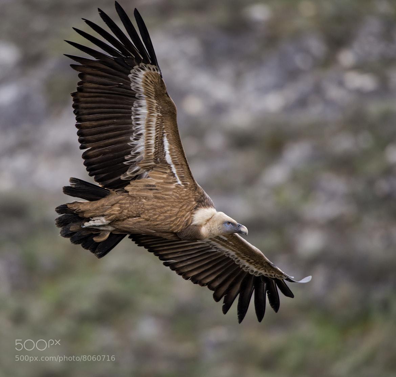 Photograph Vulture flight by jose pesquero on 500px