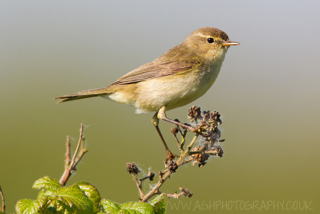 Photograph Chiffchaff by Tony House on 500px
