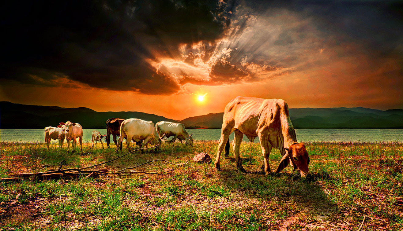 Photograph Cows with twilight sky by Jakrapong Sombatwattanangkool on 500px
