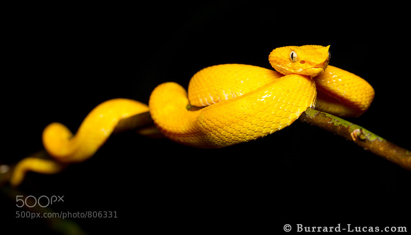 Photograph Eyelash Pit Viper by Will Burrard-Lucas on 500px