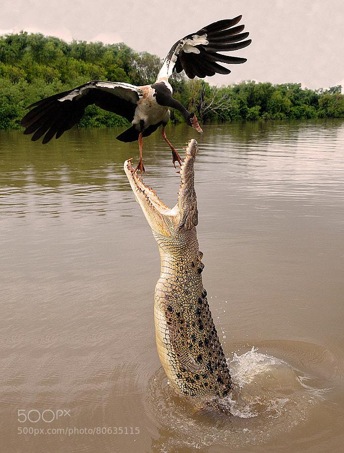Darwin Northern Territory Saltwater Crocodile by Franco Mottironi