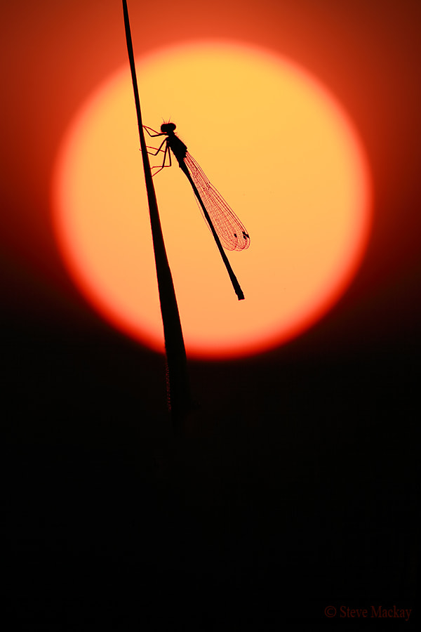 Photograph Damselfly Sunset (part 2) by Steve Mackay on 500px