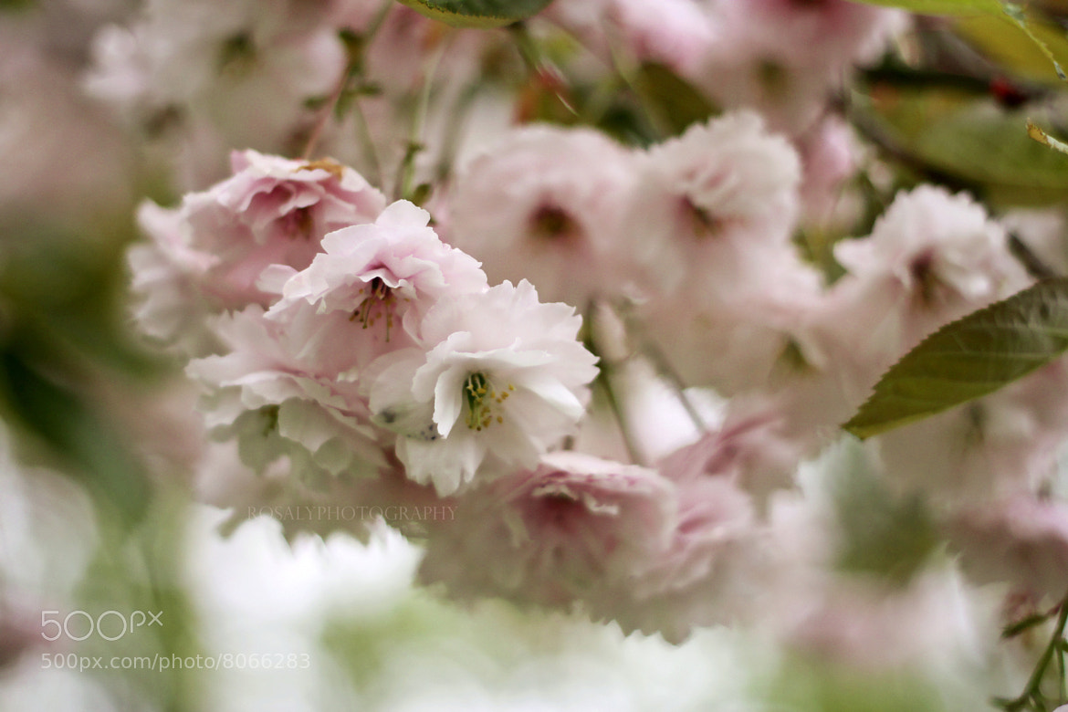 Photograph Lovely blossom by Rosalie van der Does on 500px