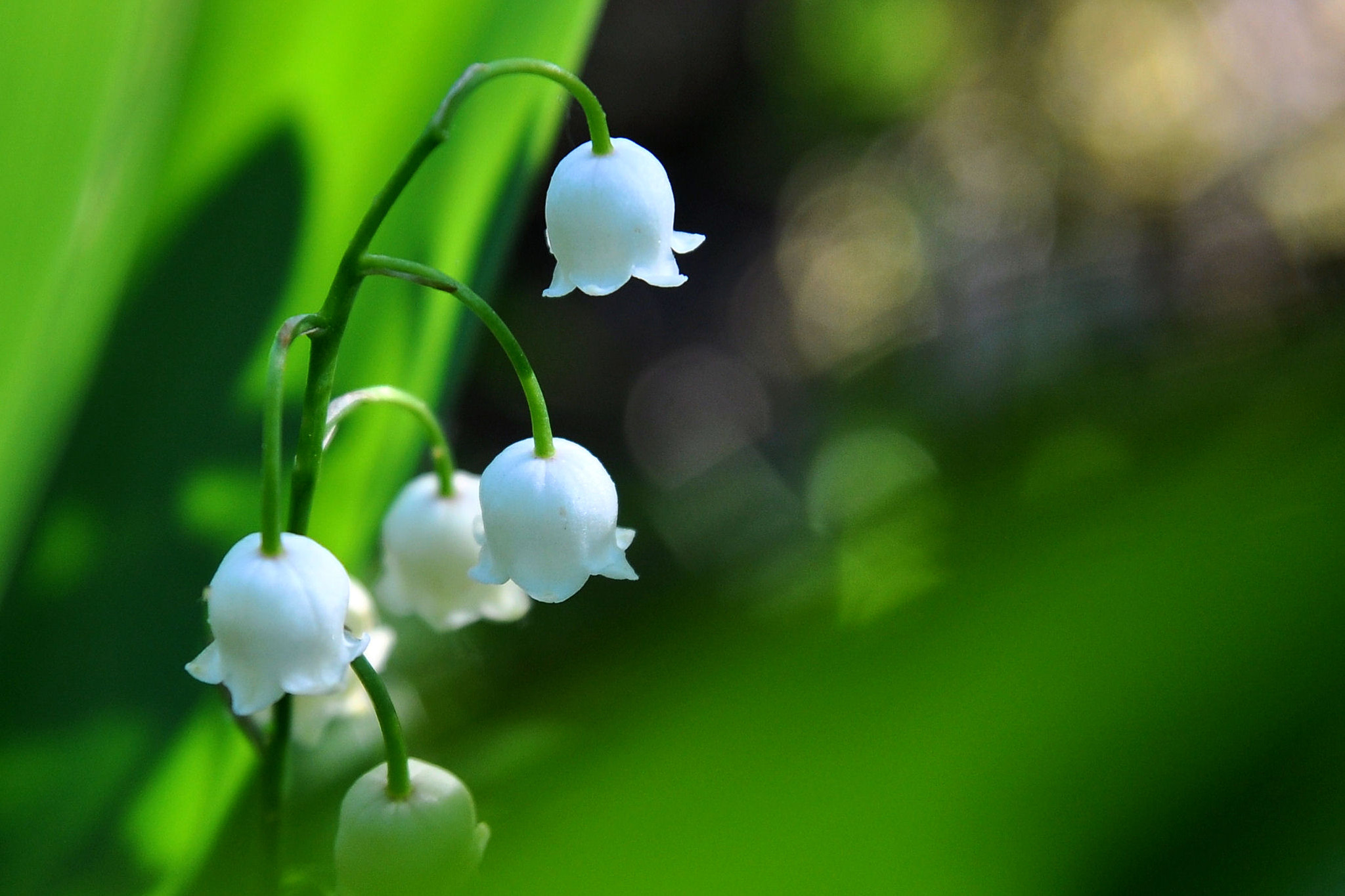 Photograph Lily of the valley by mbackman on 500px