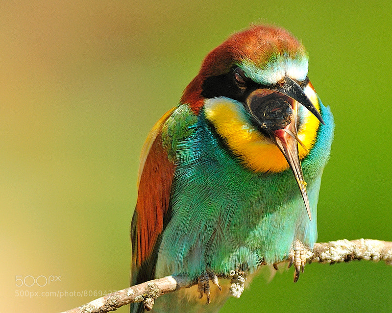 Photograph Merops apiaster. by Fernando Sánchez on 500px