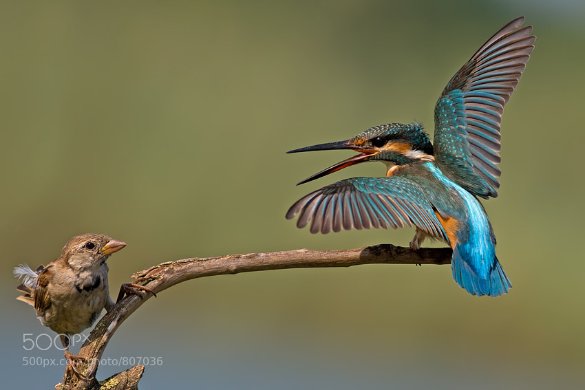 Photograph Common Kingfisher vs House Sparrow by nissim levi on 500px