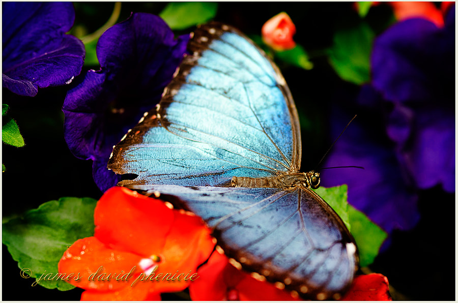 Butterfly Series:  Common Blue Morpho#2