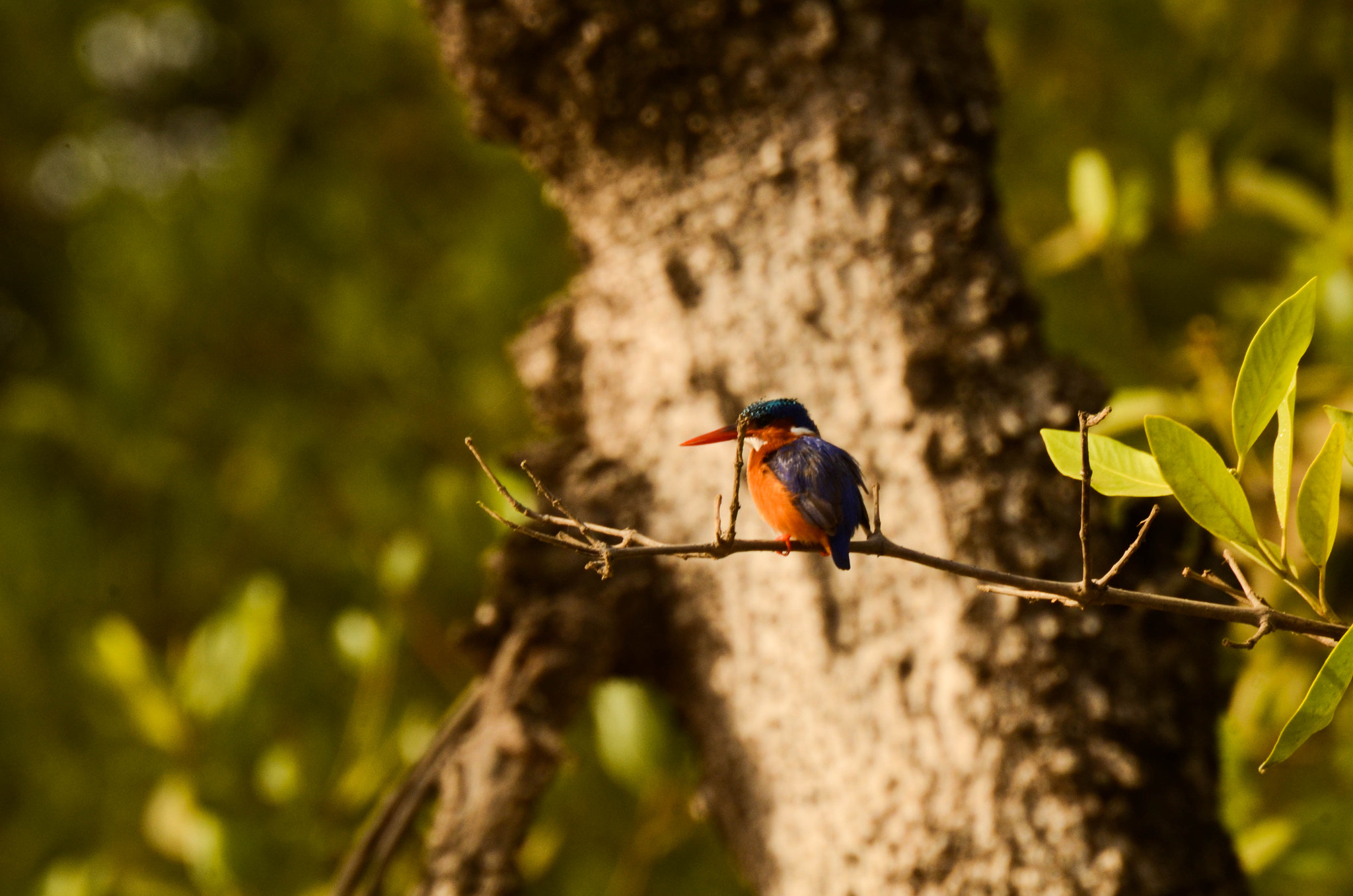 Photograph Malachite Kingfisher by Trish Waller on 500px
