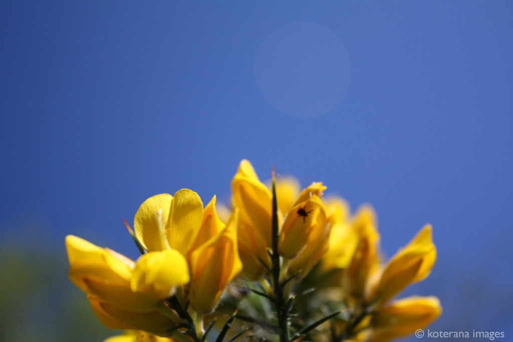 Photograph gorse and blue by Fiona Mackenzie-Green on 500px