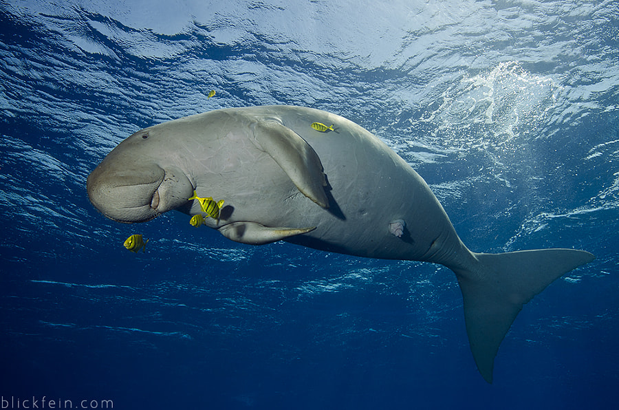 weird animals -Happy dugong by Christian Schlamann on 500px.com