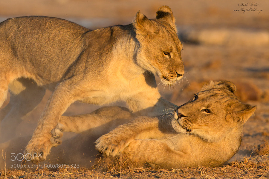 Photograph Playfight Cubs by Hendri Venter on 500px