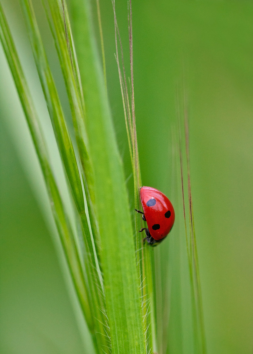 Photograph Ladybug by Tore  Serra on 500px