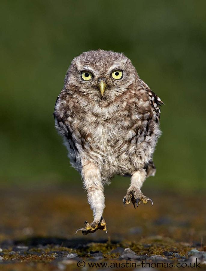 Jump up, Little Owlet...
