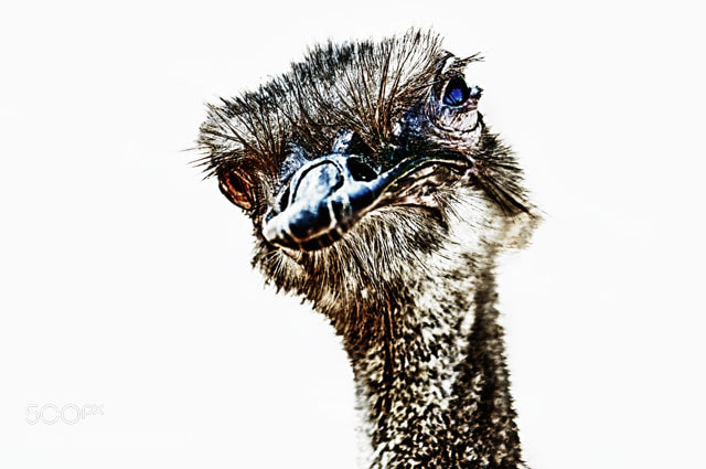 Photograph The portrait of Ostrich by Mads Monsen on 500px