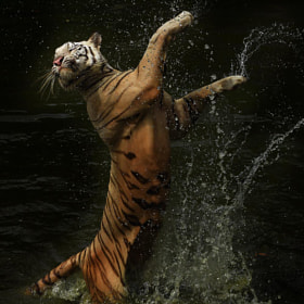 Dancing Tiger by Cindy Budiono (CindyBudiono)) on 500px.com