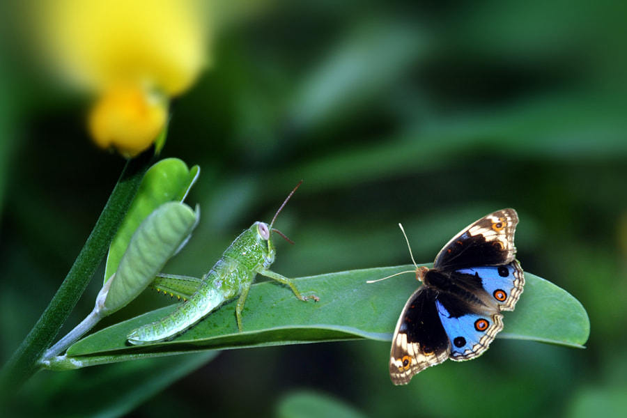 Photograph Butterfly 6 by Khoo Boo Chuan on 500px