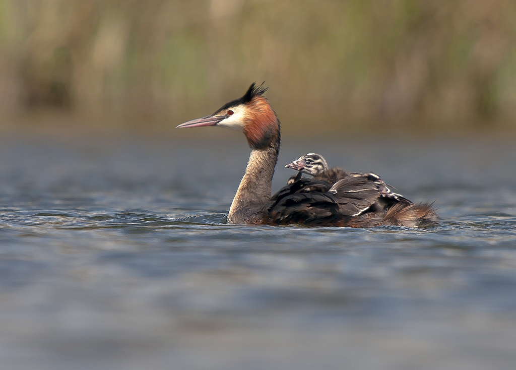 Photograph Great crested grebe by TomMelton on 500px
