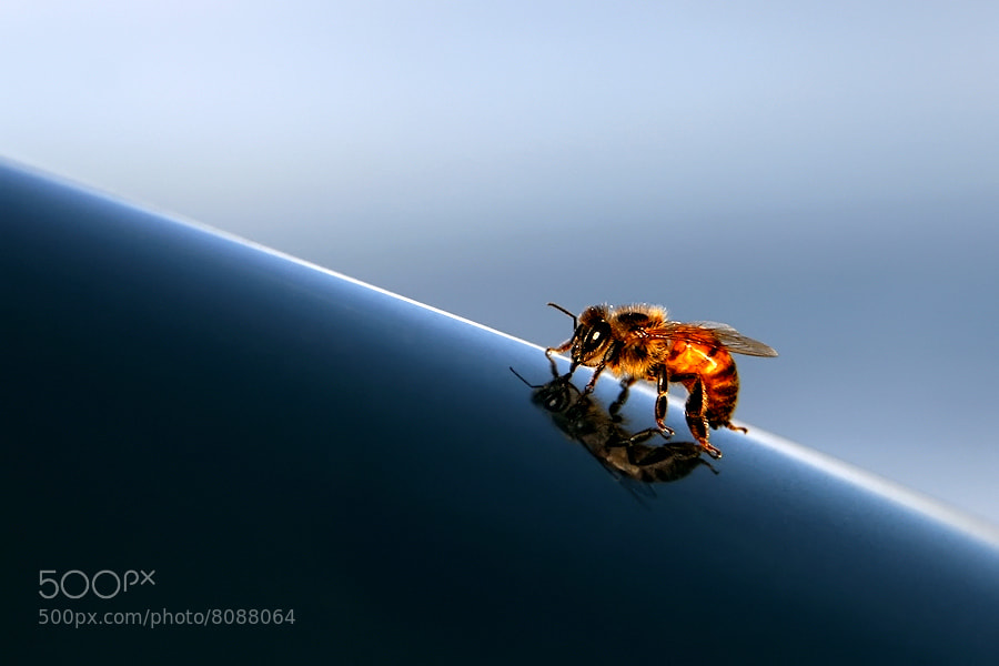 Photograph Bee Reflected by Carlos Gotay on 500px