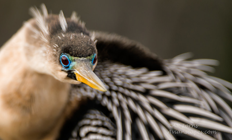 Photograph Curious female anhinga, breeding colors by Alfred Forns on 500px