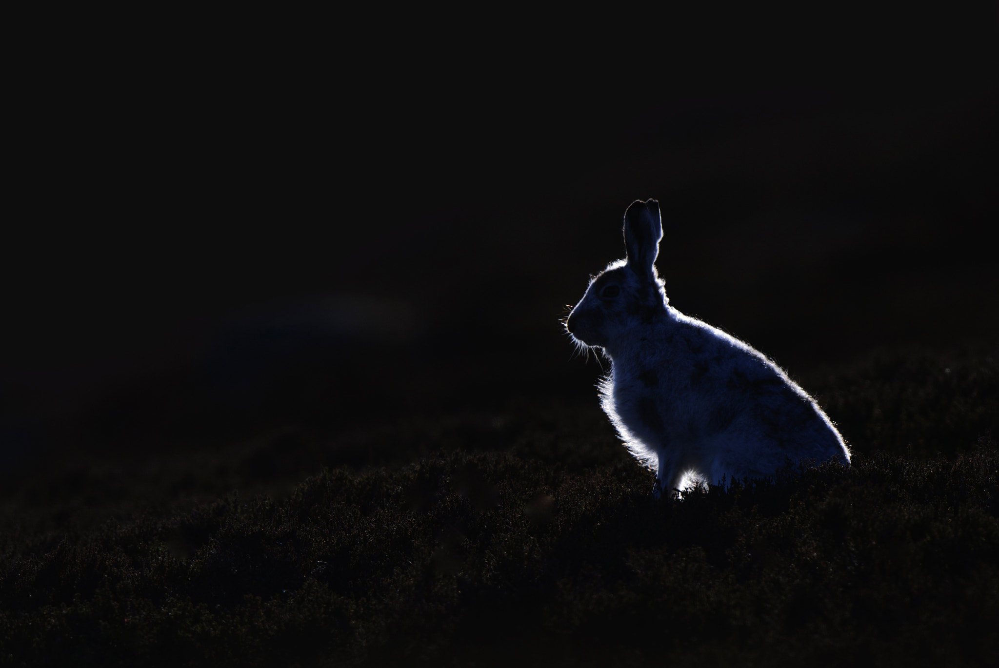 Photograph Backlit Mountain hare by charlotte sams on 500px