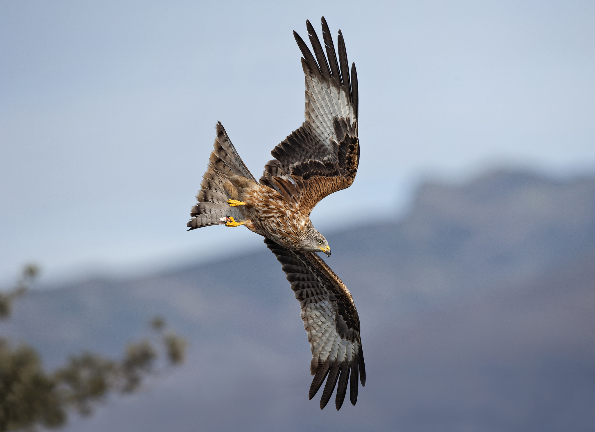 Photograph Milvus Milvus - flying by jose pesquero on 500px