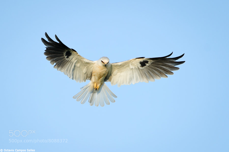 Photograph White-tailed Kite (Elanus leucurus) by Octavio Campos Salles on 500px