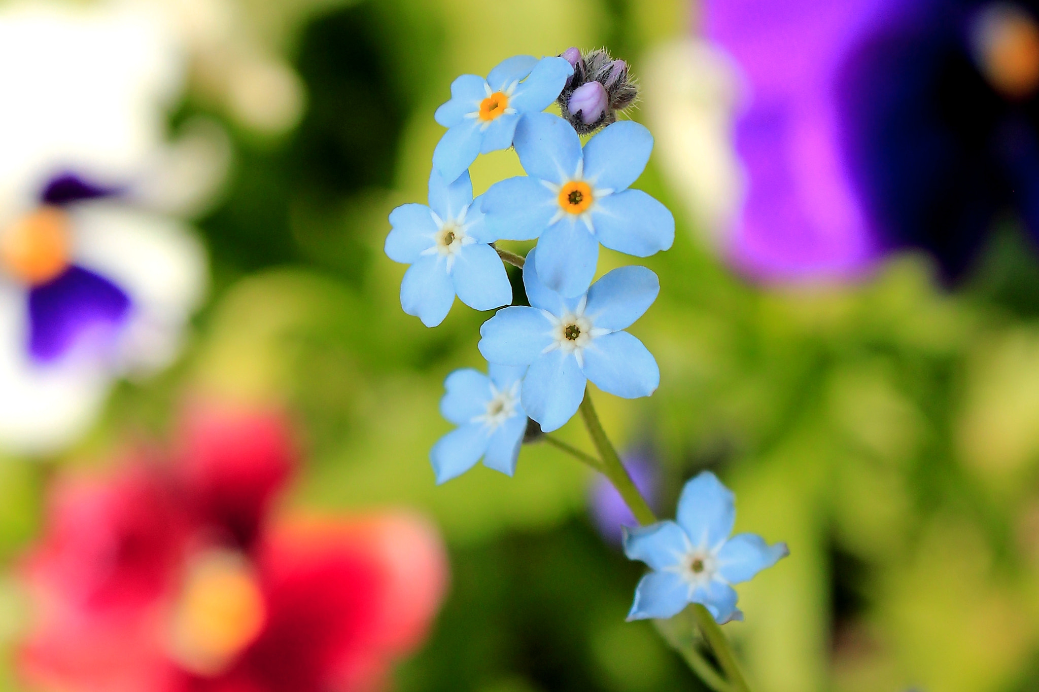 Photograph Forget-me-nots by Jonathan Hand on 500px