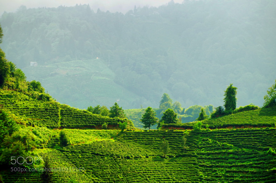 Photograph Tea gardens of Turkey by Barış Kayhan on 500px