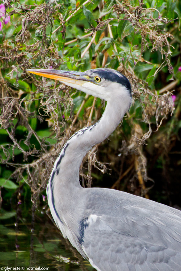 Grey heron searching for food on Lee Valley canal - London, UK