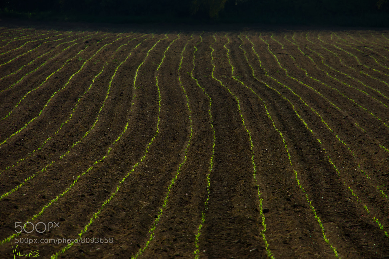 Photograph springfield wheat by luis vilanova on 500px